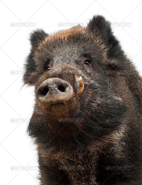 Wild boar, also wild pig, Sus scrofa, 15 years old, portrait and close up against white background - Stock Photo - Images