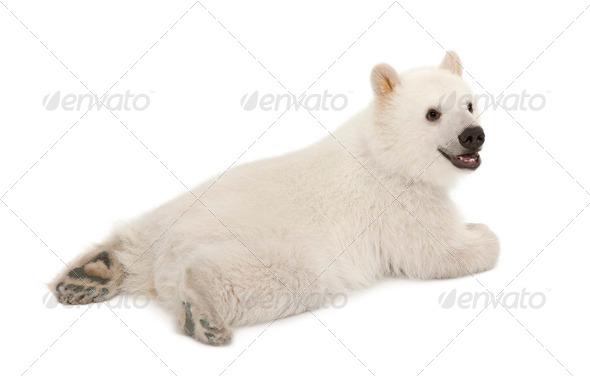 Polar bear cub, Ursus maritimus, 6 months old, against white background - Stock Photo - Images