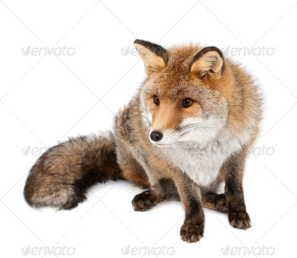 Old Red fox, Vulpes vulpes, 15 years old, sitting against white background - Stock Photo - Images