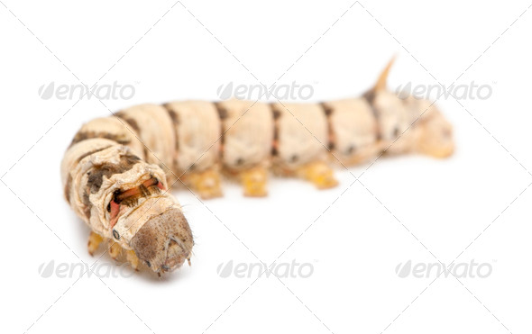 Silkworm larvae, Bombyx mori, against white background - Stock Photo - Images