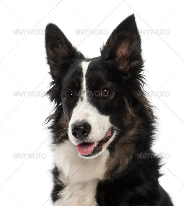 Border Collie, 1 year old, portrait against white background - Stock Photo - Images