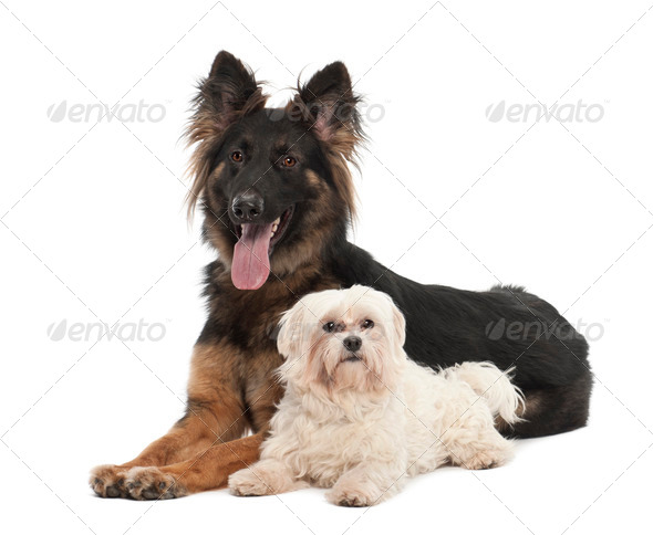 Maltese, 6 years old, and German Shepherd Dog, 18 months old, portrait against white background - Stock Photo - Images