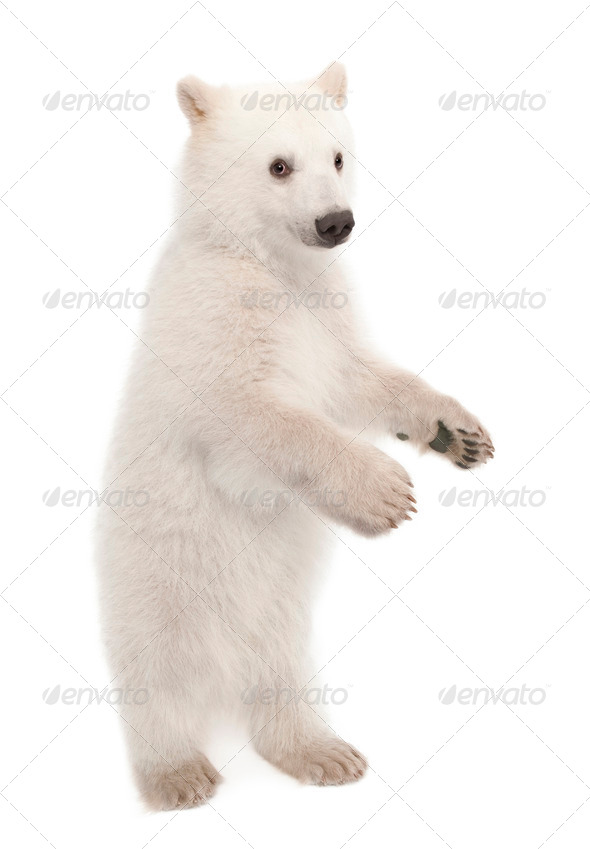 Polar bear cub, Ursus maritimus, 6 months old, portrait against white background - Stock Photo - Images