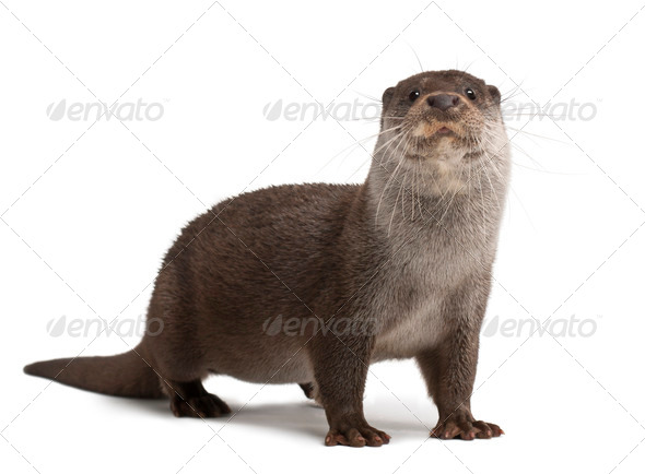 European Otter, Lutra lutra, 6 years old, portrait standing against white background - Stock Photo - Images