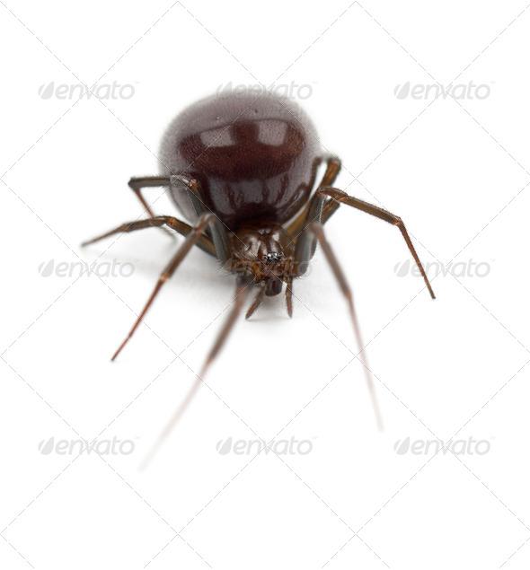 Common House Spider, Parasteatoda tepidariorum, against white background - Stock Photo - Images