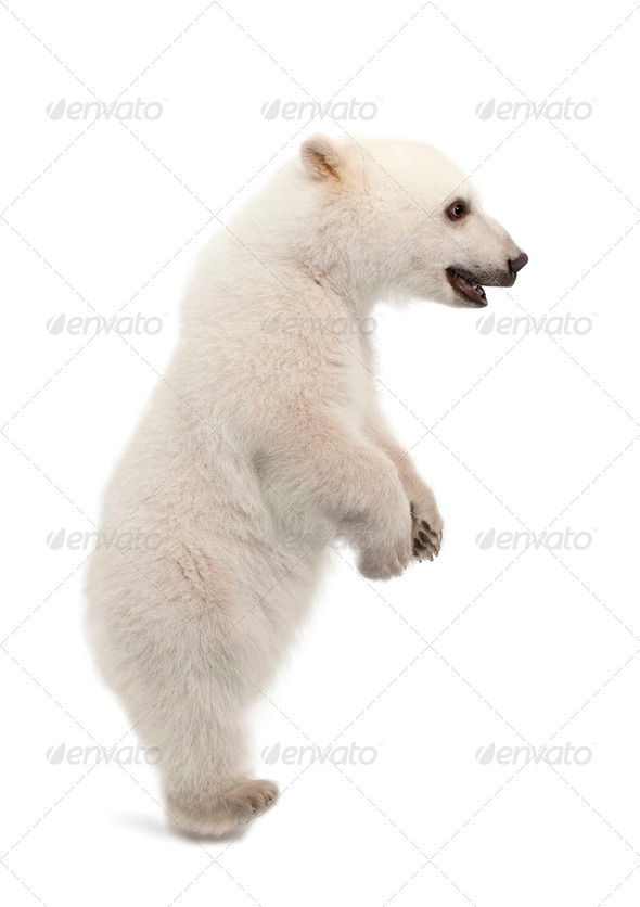 Polar bear cub, Ursus maritimus, 6 months old, standing on hind legs against white background - Stock Photo - Images