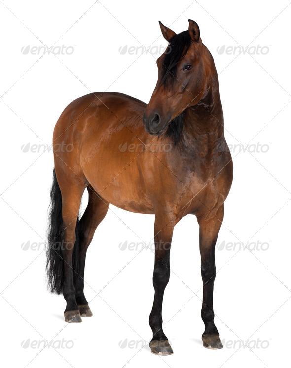 Mixed breed of Spanish and Arabian horse, 8 years old, standing against white background - Stock Photo - Images