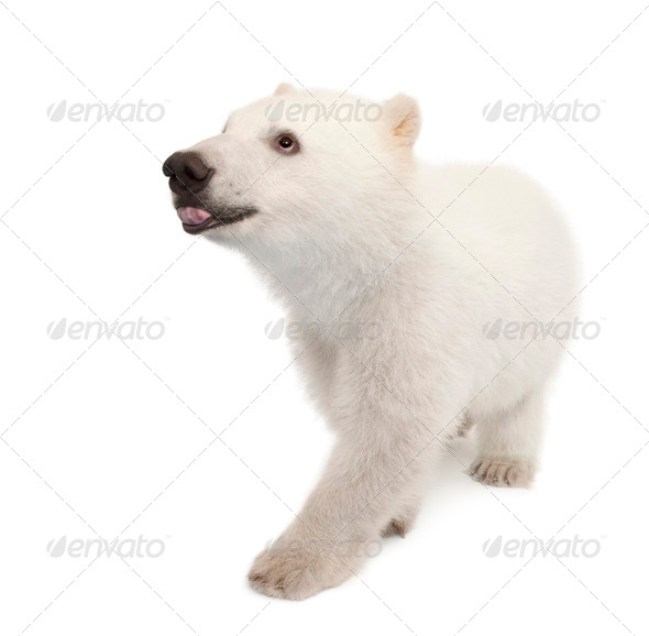 Polar bear cub, Ursus maritimus, 6 months old, against white background - Stock Photo - Images