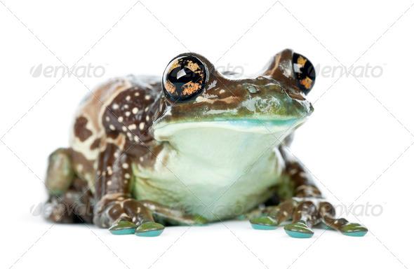 Amazon Milk Frog, Trachycephalus resinifictrix, portrait against white background - Stock Photo - Images