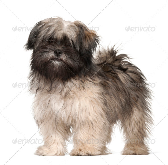 Lhasa apso portrait against white background - Stock Photo - Images