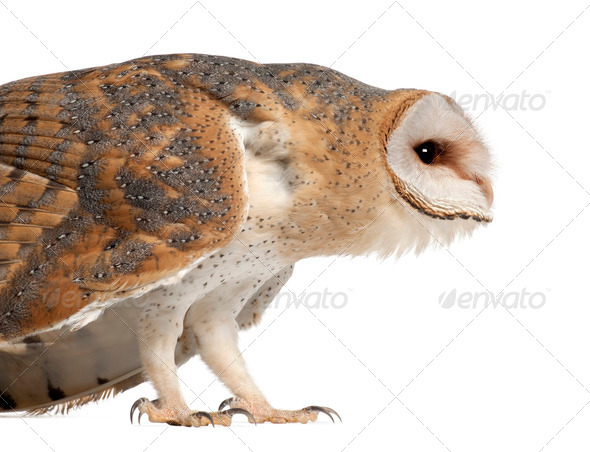 Barn Owl, Tyto alba, 4 months old, standing close up against white background - Stock Photo - Images