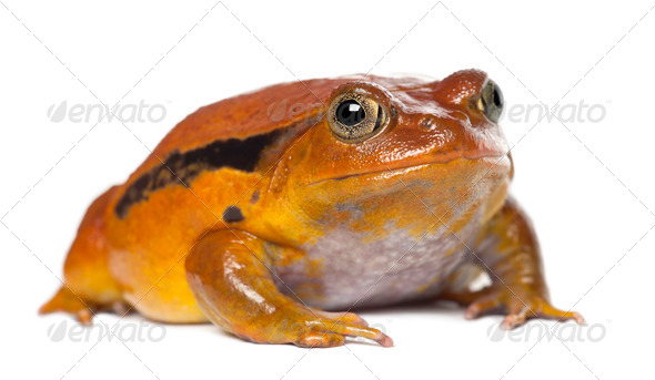 False Tomato Frog, Dyscophus guineti, portrait against white background - Stock Photo - Images