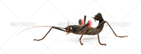 Golden-eyed Stick Insect, Peruphasma schultei, a species of stick insect, against white background - Stock Photo - Images