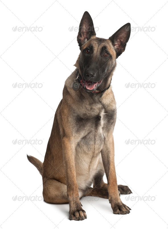 Belgian Shepherd Dog, 8 months old, sitting against white background - Stock Photo - Images