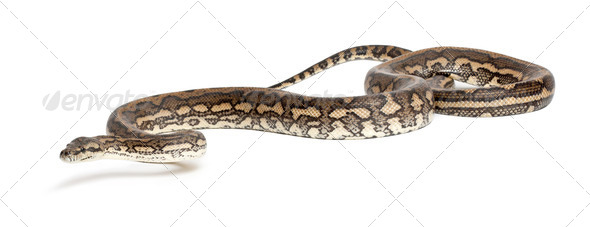 Python, Morelia spilota variegata, against white background - Stock Photo - Images