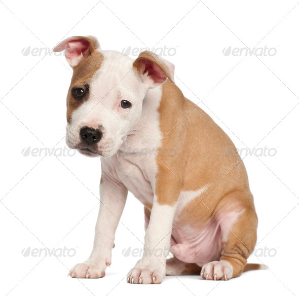 American Staffordshire Terrier puppy, 2 months old, sitting against white background - Stock Photo - Images