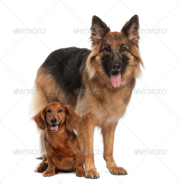 Dachshund, 9 years old, German Shepherd Dog, 3 years old, sitting against white background - Stock Photo - Images