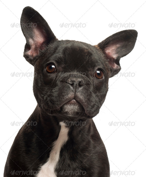 French bulldog puppy, 5 months old, portrait and close up against white background - Stock Photo - Images