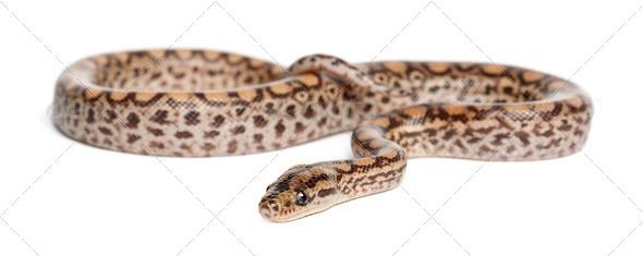 Boa, Epicrates maurus, against white background - Stock Photo - Images