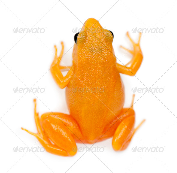 Golden Mantella, Mantella aurantiaca, against white background - Stock Photo - Images