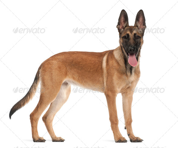 Belgian Shepherd Dog puppy, 5 months old, portrait against white background - Stock Photo - Images