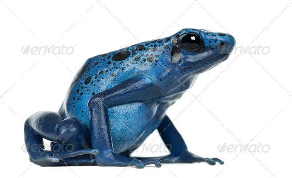 Blue and Black Poison Dart Frog, Dendrobates azureus, against white background - Stock Photo - Images