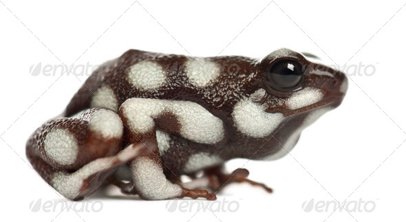 Maranon Poison Poison Frog or Rana Venenosa, Ranitomeya mysteriosus, against white background - Stock Photo - Images