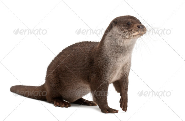 European Otter, Lutra lutra, 6 years old, against white background - Stock Photo - Images