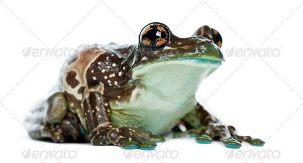 Amazon Milk Frog, Trachycephalus resinifictrix, against white background - Stock Photo - Images