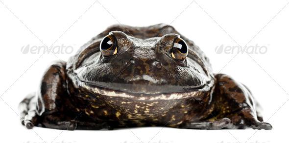 American bullfrog or bullfrog, Rana catesbeiana, portrait against white background - Stock Photo - Images