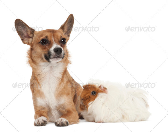 Bastard dog and guinea pig against white background - Stock Photo - Images