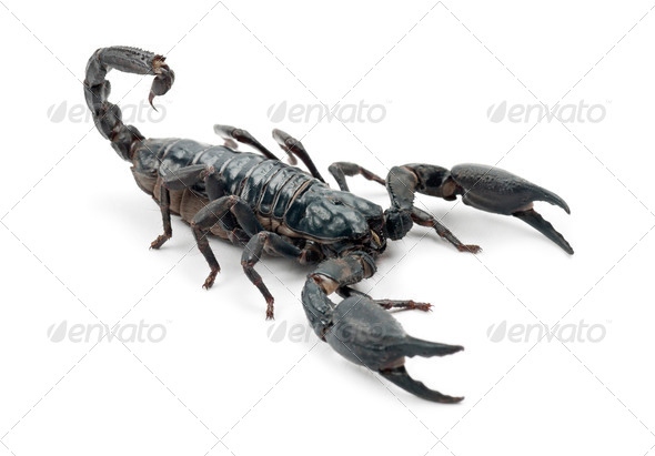 Emperor Scorpion, Pandinus imperator, against white background - Stock Photo - Images