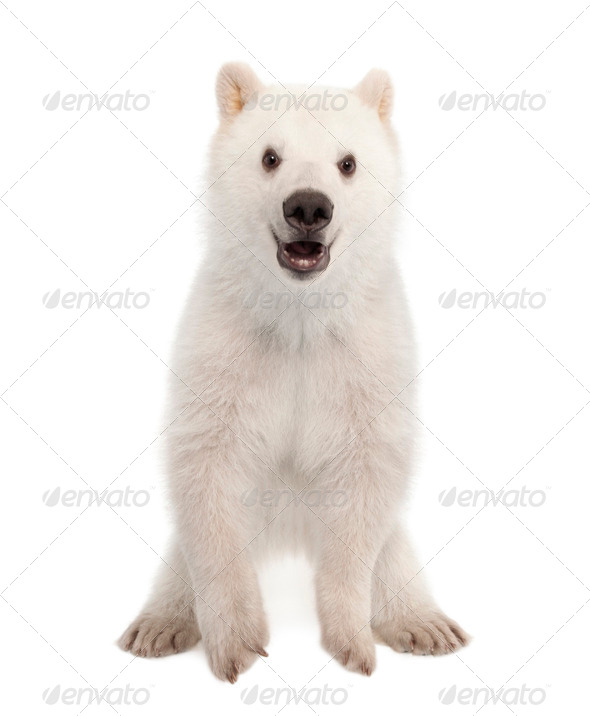 Polar bear cub, Ursus maritimus, 6 months old, portrait against white background - Stock Photo - Images