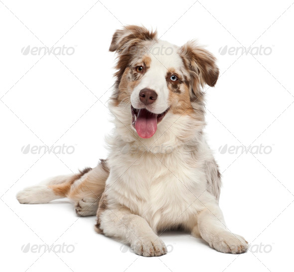 Australian Shepherd puppy, 6 months old, portrait against white background - Stock Photo - Images