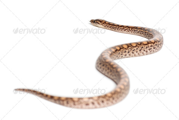 Boa, Epicrates maurus, against white background - Stock Photo - Images