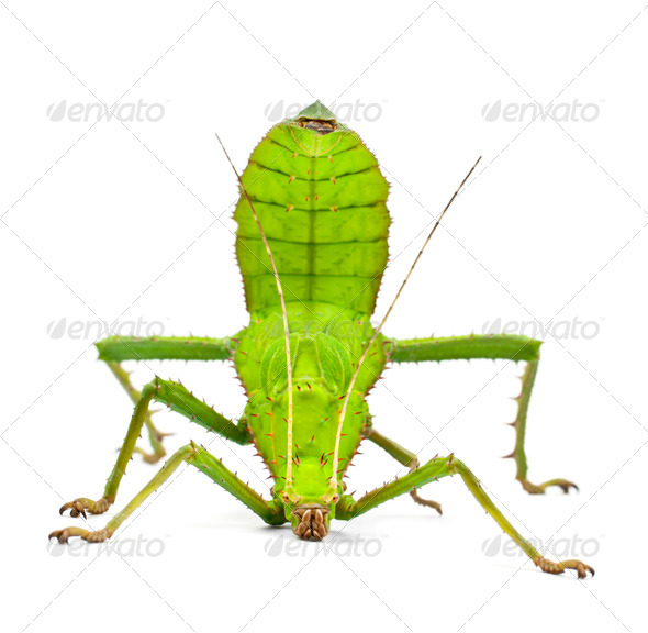 Adult Female Malayan Jungle Nymph, Heteropteryx dilatata, against white background - Stock Photo - Images