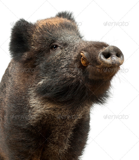 Wild boar, also wild pig, Sus scrofa, 15 years old, close up against white background - Stock Photo - Images