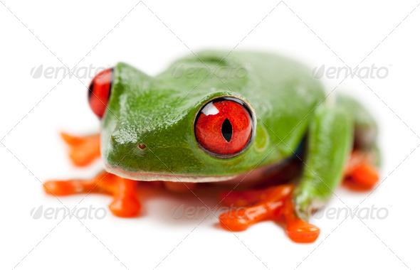 Red-eyed Treefrog, Agalychnis callidryas, portrait against white background - Stock Photo - Images