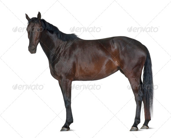 Belgian Warmblood horse, 5 years old, portrait standing against white background - Stock Photo - Images