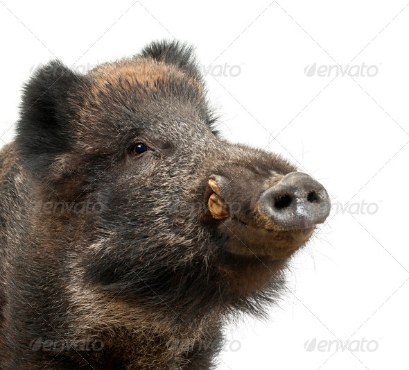 Wild boar, also wild pig, Sus scrofa, 15 years old, close up portrait against white background - Stock Photo - Images