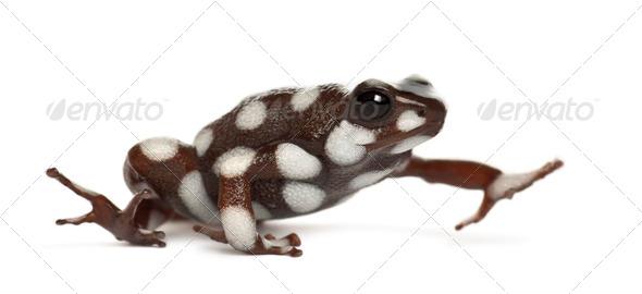 Maranon Poison Poison Frog or Rana Venenosa, Ranitomeya mysteriosus, against white background - Stock Photo - Images