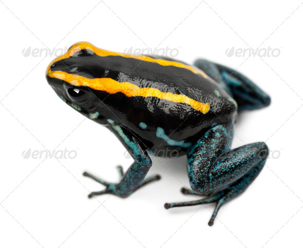 Golfodulcean Poison Frog, Phyllobates vittatus, against white background - Stock Photo - Images
