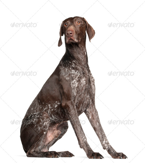 German Shorthaired Pointer, 4 years old, sitting against white background - Stock Photo - Images