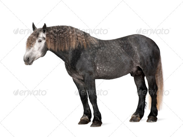 Percheron, 5 years old, a breed of draft horse, portrait standing against white background - Stock Photo - Images