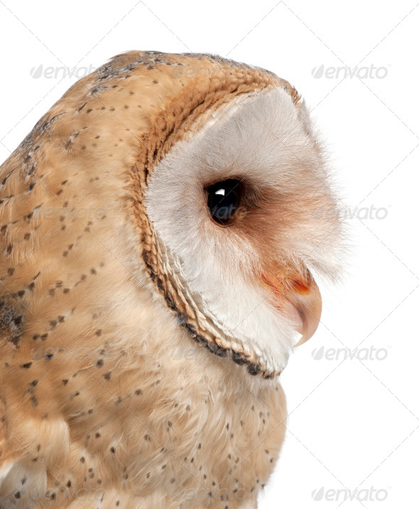 Barn Owl, Tyto alba, 4 months old, close up against white background - Stock Photo - Images