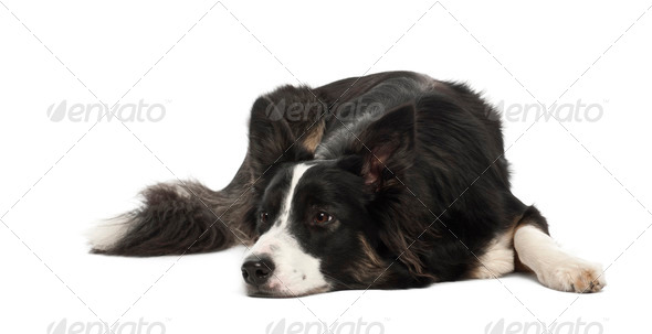 Border Collie, 1 year old, against white background - Stock Photo - Images