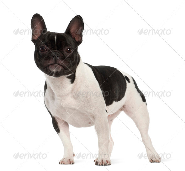 French Bulldog, 2 years old, portrait against white background - Stock Photo - Images