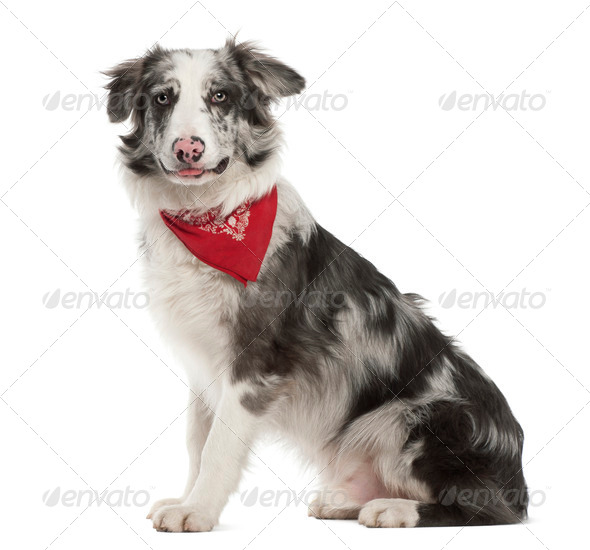 Border Collie, 7 months old, sitting against white background - Stock Photo - Images