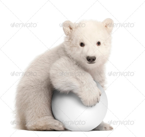Polar bear cub, Ursus maritimus, 3 months old, with white ball sitting against white background - Stock Photo - Images