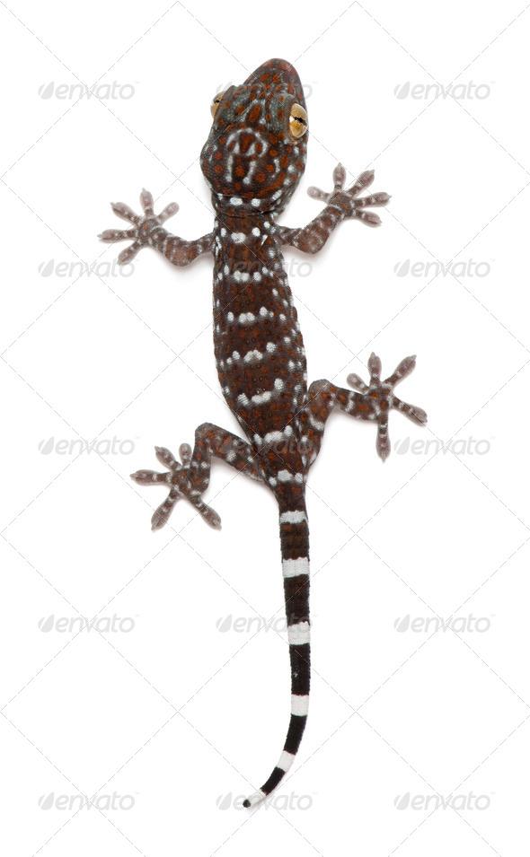 Tokay Gecko, Gekko gecko, against white background - Stock Photo - Images